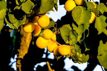 Summer Apricot fruits on tree
