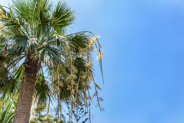 Beautiful summer Mediterranean landscape, shining from the afternoon sun coconut and trachycarpus fortunei palms. A pale blue sky with fluffy white clouds. Copy space.