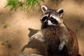 Portrait of lotor common raccoon