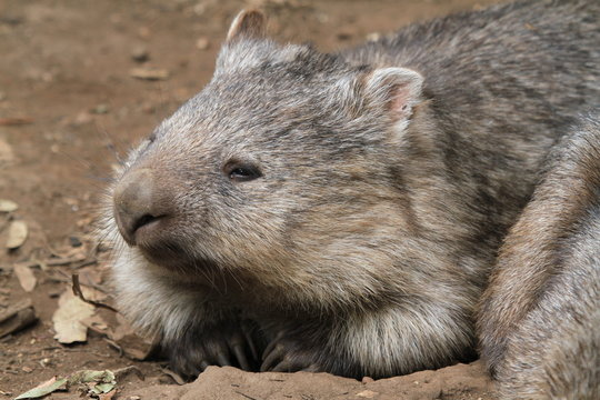 Portrait of native wombat kneeling down