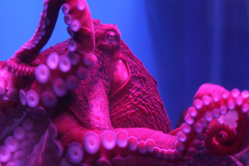 Giant live Octopus in neon light in aquarium