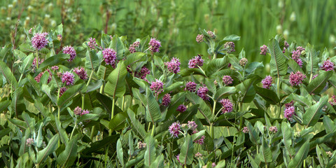 Common Milkweed, the essential plant for Monarch butterflies, blooms abundantly in summer in Alamosa National Wildlife Refuge in southern Colorado