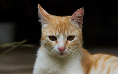 Portrait of a red cat, close-up. Beautiful Ginger cat, outdoors
