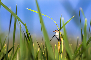 A Male Marsh Wren perches on a cattail at dawn in Alamosa National Wildlife Refuge in southern Colorado