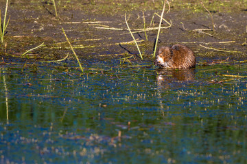 Muskrat uses his paws to feed in the marsh at Alamosa National Wildlife Refuge in southern Colorado