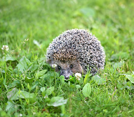 Photo of a macro funny hedgehog