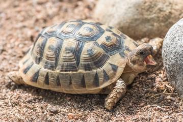 Tunisian tortoise, Testudo graeca nabeulensis, small turtle yawning, portrait