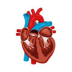 Anatomy of the Heart. Medical science vector illustration. Education illustration