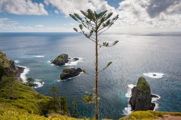 A struggling Norfolk Pine on the coast of Norfolk Island