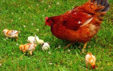 artgerechte tierhaltung   hühner
