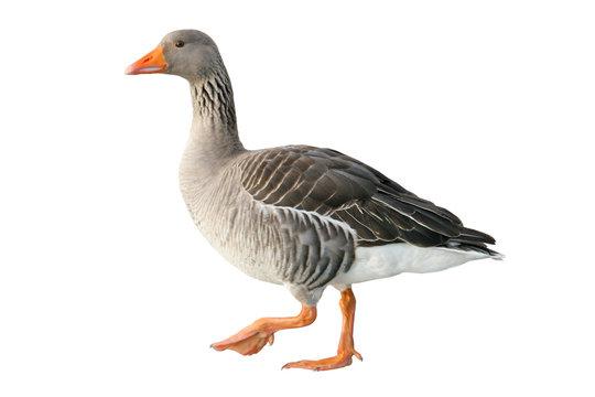 Greylag goose (Anser anser). Wild goose, isolated on white background