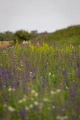 Rare threatened steppe territory in Ukraine with Salvia pratensis flowering. Grass field flower background.