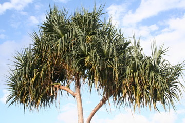 palm and coconuts at airlie beach