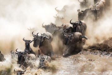 Fototapeta Wildebeest herd crossing the Mara River