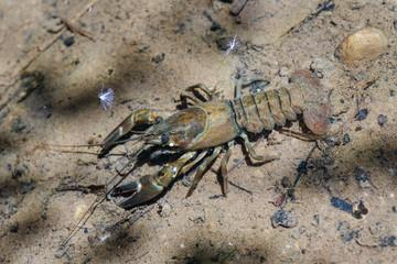 Cangrejo Señal o del Pacífico, en el agua. Pacifastacus leniusculus.