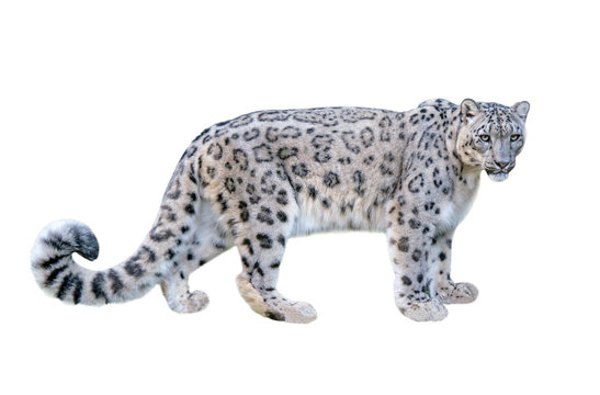 Snow leopard (Panthera uncia). Leopard, full length, isolated on white background