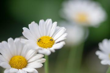 Fleur de marguerite dans le jardin