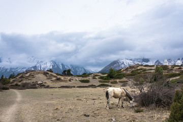 White horse, grazing high in the mountains, Nepal.