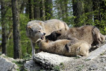 Wölfe (Canis lupus) Captive, Deutschland, Europa
