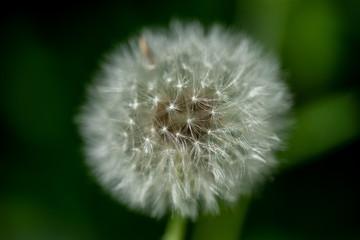 La boule de graines du pissenlit après la floraison avec ses akènes surmontés d'un aigrette légère, servant de voile pour la dissémination de la graine
