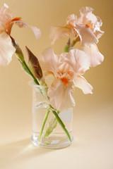 Pink iris in glass jar
