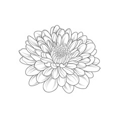 Monochrome chrysanthemum flower painted by hand. Element for design and creativity.