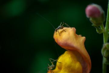 2 petites sauterelles sur une fleur de Mufliers ou appelée aussi Gueule de loup