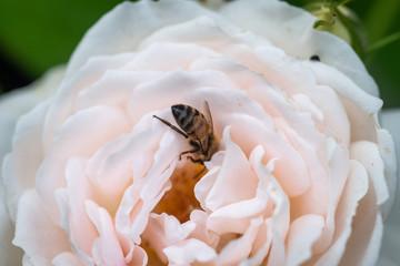 Abeille se régale dans une rose blanche
