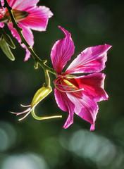bauhinia variegata flower bokeh background