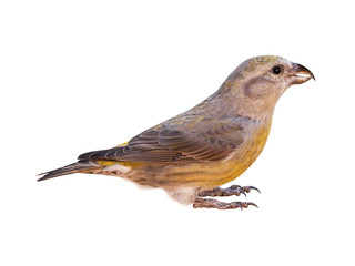 Female red crossbill (Loxia curvirostra), isolated on white background