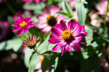 ピンク色のジニアの花のアップ