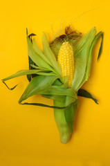 whole head of corn in clothes on a yellow background.