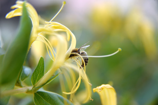 Bumble bee collecting pollen to make honey from yellow jasmine flower