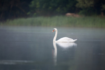Swan on small lake on foggy morning
