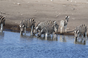 Damara zebra herd, Equus burchelli antiquorum, drinking in the waterhole Etosha National Park, Namibia