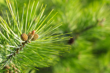 Fir tree branch with a new cone