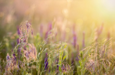 Grass and pollen meadow in the blowing wind at sunset