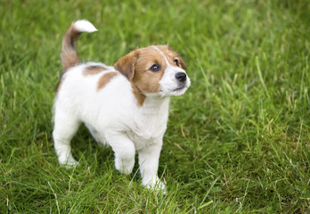Cute Jack Russell puppy dog walking in the grass and looking