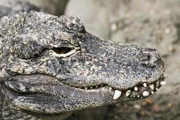 A Close Up of a Chinese Alligator, Alligator sinensis