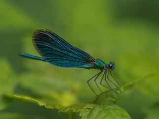insecte libellule demoiselle verte posée sur une feille verte sur un fond rose