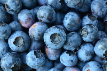 Plump and ripe fresh picked Blueberries
