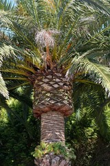 crown of a palm tree close-up