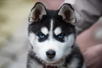 Blue-eyed Siberian Husky Puppy head. 8 weeks old female headshot with purple leash and sandy beach background.