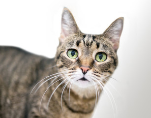 A brown tabby domestic shorthair cat with green eyes