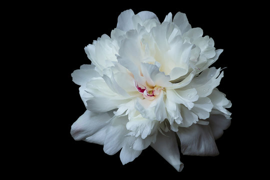 The blossoming peony of white color with a set of petals of any form isolated on a black background.