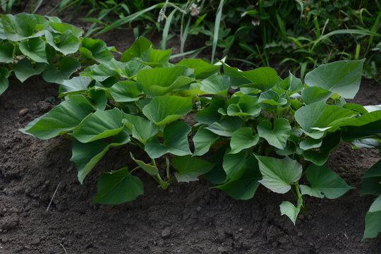 Sweet potato cultivation