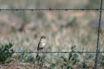 Juvenile Bell's Sparrow on a barbed-wire fence in summer in the San Luis Valley of southern Colorado