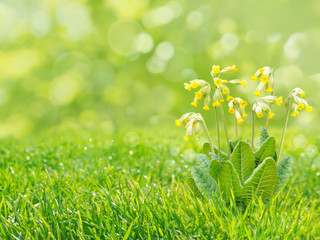 Primrose flowers on the blurreg grass background