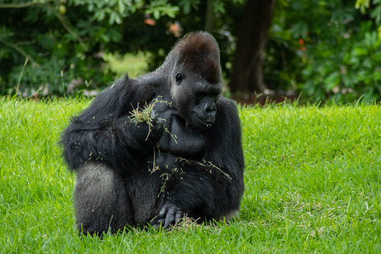 Western Lowland Gorilla in Green Grass on Sunny Day