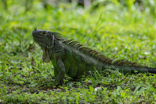 Iguana in Green Grass on Sunny Day